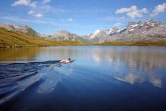 Swim In The Reflections Stock Photography