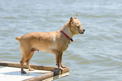 Swim in the river chihuahua standing on a wooden table, view profile Stock Photos