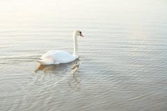 Swim Swan Royalty Free Stock Images