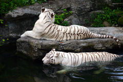 In the swim - White Tigers. In the swim of things - Two majestic White tigers having a fun time. Taken in the Singapore Zoo, in an animal enclosure that closely royalty free stock photography