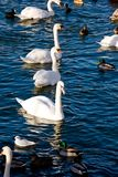 Swiming birds in Stockholm. City Stock Images