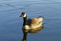Swiming canadian goose. In blue lake Royalty Free Stock Images