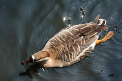 Swiming duck. Swimming brown duck on the water Royalty Free Stock Photo