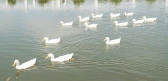 Swiming duck Stock Image