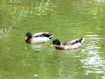 Swiming ducks Royalty Free Stock Image