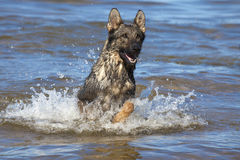 Swiming Germany sheepdog. In blue sea Royalty Free Stock Image