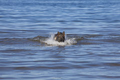 Swiming Germany sheepdog. In blue sea Royalty Free Stock Photo