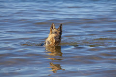 Swiming Germany sheepdog Royalty Free Stock Photos