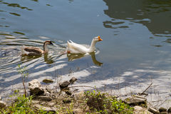 Swiming goose. White and brown geese swimming together in the pool in the sunlight royalty free stock photos