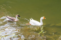 Swiming goose Royalty Free Stock Photo