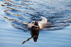 Swiming labrador Retriever dog. In river Stock Photography