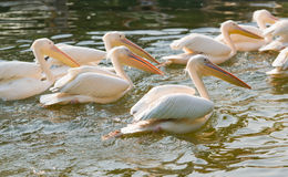 Swiming pelican Royalty Free Stock Photo