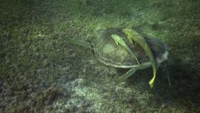 Swiming with turtle. Swiming with sea turtle. sea turtle with two remora sucker fish eat sea grass in sun light stock video footage