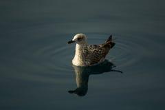 Swiming Seagull Stock Photos