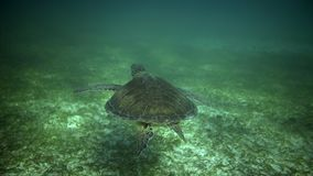 Swiming with turtle. Swiming with sea turtle. Following turtle underwater in sun light stock footage