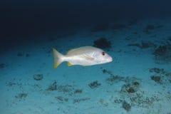 Swimm dello snapper di Onespot in acqua del mare delle Andamane, Tailandia Immagini Stock Libere da Diritti