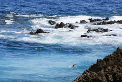 Swimmer in boiling sea at rocky shore, El Hierro, Stock Photography