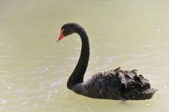 Swimmig черного лебедя, взгляд со стороны Стоковая Фотография RF