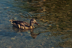 Swimmig duck Stock Images