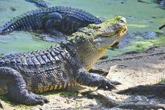 Swimmimg американского аллигатора Стоковые Фотографии RF