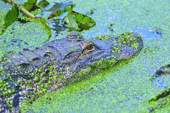 Swimmimg американского аллигатора Стоковые Изображения RF