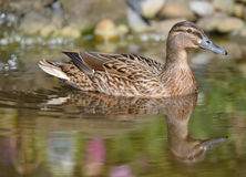 Swimmimg утки кряквы - отражение в воде Стоковые Фото