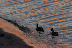 Swimmimg de canard dans l'eau Images libres de droits
