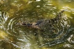 Swimmimg del cocodrilo Imagen de archivo