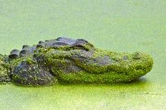 Swimmimg dell'alligatore americano Fotografie Stock Libere da Diritti