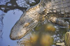Swimmimg dell'alligatore americano Immagini Stock