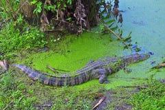 Swimmimg dell'alligatore americano Immagine Stock Libera da Diritti