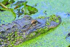 Swimmimg dell'alligatore americano Fotografia Stock Libera da Diritti