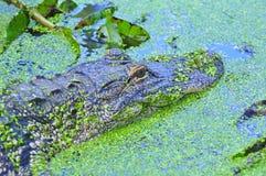 Swimmimg dell'alligatore americano Immagini Stock Libere da Diritti