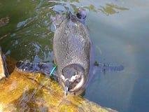 Swimmimg penguin Stock Photo