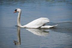 Swimmin da cisne muda deixado através da lagoa Fotografia de Stock Royalty Free