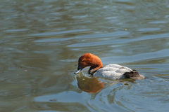 Swimming adult male common pochard or Aythya ferina looking for food Royalty Free Stock Photos
