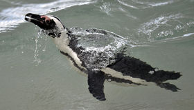 Swimming African penguin (spheniscus demersus) Royalty Free Stock Photo