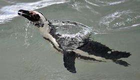 Swimming African penguin (spheniscus demersus) Royalty Free Stock Photo