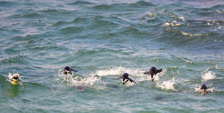 Swimming African Penguins Stock Images