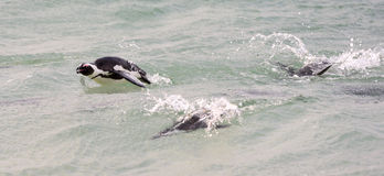 Swimming African Penguins Royalty Free Stock Photography