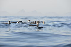 Swimming  African penguins Stock Photo
