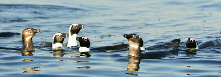 Swimming  African penguins Royalty Free Stock Images