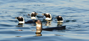 Swimming  African penguins Stock Image