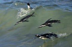 Swimming African penguins (spheniscus demersus) Stock Photo