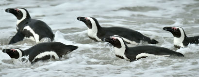 Swimming African penguins (spheniscus demersus) Royalty Free Stock Photo
