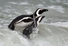 Swimming African penguins (spheniscus demersus) Royalty Free Stock Photos