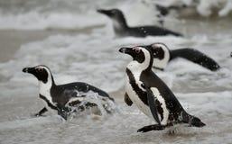 Swimming African penguins (spheniscus demersus) Royalty Free Stock Image