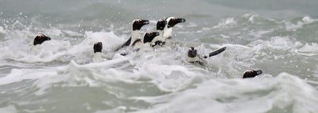 Swimming African penguins (spheniscus demersus) Royalty Free Stock Photo