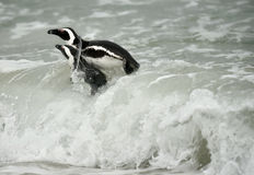 Swimming African penguins (spheniscus demersus) Royalty Free Stock Image
