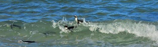Swimming African penguins (spheniscus demersus) Stock Images